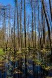 Frühlingswald wird im Sumpf am sonnigen Tag reflektiert Landschaft des Frühlingswaldes stockfotos