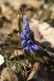 Frühlingswaldblume Stockfotos