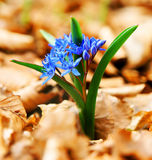 Frühlingswaldblumen Stockfotografie