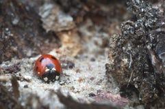 Frühlingswecken von Insekten nach Schneewinter Makroweltlandschaften Marienkäfer in der wilden Naturnahaufnahme lizenzfreie stockbilder