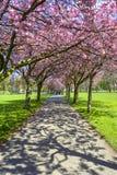 Frühlingsweg im Park mit Kirschblüte und rosa Blumen. Stockbild