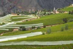 Frühlingsweinberg Elqui-Tal, Anden, Chile Stockbild