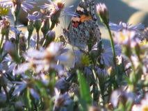 Frühlingswetter und -schmetterling Ein warmer Tag, eine Blumenwiese unter den Steinen Stockfoto