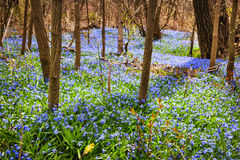 Frühlingswiese mit blauem Blumenruhm-von-dschnee Lizenzfreie Stockfotografie