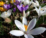 Frühlingswiese mit großem weißem Krokus im Vordergrund stockfoto