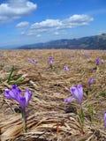 Frühlingswiese mit Krokus Lizenzfreie Stockfotografie