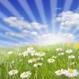 Frühlingswiese und -gänseblümchen auf grünem Gras Stockfotos