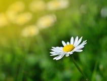 Frühlingswiese und weiße Gänseblümchen im romantischen Retrostil Stockbild