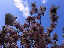 Frühlingszeit, Bäume in der Blüte, Magnolie blüht Lizenzfreie Stockfotos