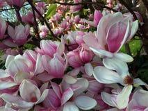 Frühlingszeit, Bäume in der Blüte, Magnolie blüht Stockbilder