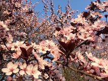 Frühlingszeit, Bäume in der Blüte, rosa Blumen Lizenzfreie Stockfotos