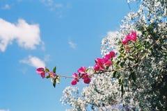 Frühlingszeit mit Bouganvilla lizenzfreies stockfoto