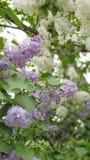 Frühlingszeit… Rosenblätter, natürlicher Hintergrund flieder lizenzfreies stockbild