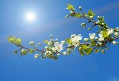 Frühlingszweig des Kirschbaums Stockfotografie