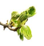Frühlingszweig des Pferdekastanienbaums Stockfotografie