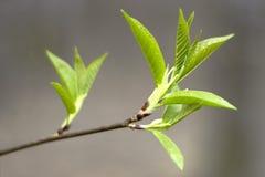 Frühlingszweig mit grünen Blättern Lizenzfreie Stockbilder