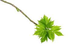 Frühlingszweige der Ahornasche mit jungen grünen Blättern Stockbild