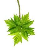 Frühlingszweige des Ahorns veraschen Acer negundo mit jungen Blättern Lizenzfreie Stockbilder