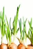 Frühlingszwiebel Stockfotos