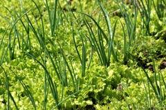 Frühlingszwiebel- oder Schalotte- oder Frühlingszwiebeln oder Salatzwiebeln, die zwischen dicht gepflanztem Kopfsalat im lokalen  lizenzfreies stockfoto