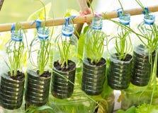 Frühlingszwiebel wachsen in benutzter Wasserflasche. Lizenzfreie Stockfotos