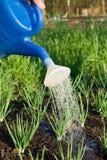 Frühlingszwiebel wird auf dem Gemüsegartencl gewässert Stockbilder