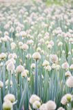 Frühlingszwiebelbauernhof Lizenzfreie Stockbilder