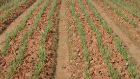Frühlingszwiebelfeld, Reihen der Zwiebel am Bauernhof Lizenzfreie Stockfotografie