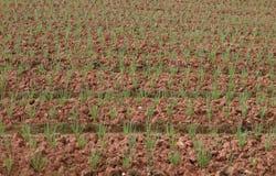 Frühlingszwiebelfeld, Reihen der Zwiebel am Bauernhof Stockbild