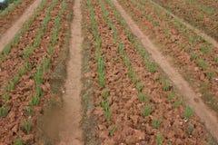 Frühlingszwiebelfeld, Reihen der Zwiebel am Bauernhof Stockfotos