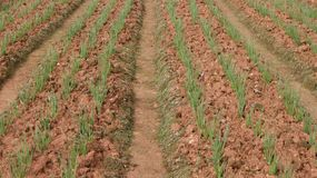 Frühlingszwiebelfeld, Reihen der Zwiebel am Bauernhof Lizenzfreies Stockbild