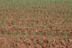 Frühlingszwiebelfeld, Reihen der Zwiebel am Bauernhof Stockbilder