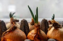 Frühlingszwiebeln, die in einem Kartoneikasten auf dem Fensterbrett wachsen Abschluss oben stockfotos