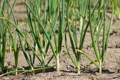 Frühlingszwiebeln im Gemüsegarten Stockfotos