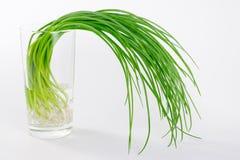 Frühlingszwiebeln im Glas füllten mit Wasser auf weißem Hintergrund Stockfotografie