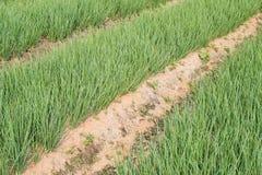 Frühlingszwiebelplantage im Gemüsegarten Lizenzfreie Stockfotos