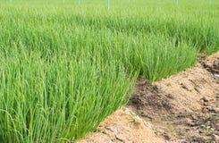 Frühlingszwiebelplantage im Gemüsegarten Lizenzfreies Stockbild