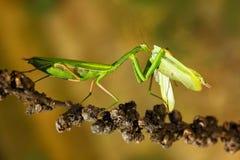Frühmette, die Gottesanbeterinnen, zwei grüne Insektengottesanbeterinnen auf Blume, Gottesanbeterin religiosa, Actionszene, Tsche stockbild