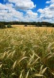 Frühsommer der Maisfelder Stockfotografie