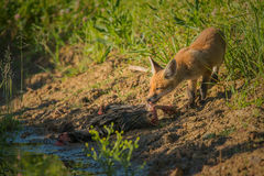 Frühstück des roten Fuchses Stockbilder