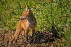 Frühstück des roten Fuchses Lizenzfreie Stockfotografie