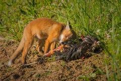 Frühstück des roten Fuchses Stockfotografie