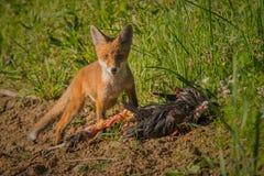 Frühstück des roten Fuchses Stockbild