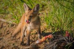 Frühstück des roten Fuchses Lizenzfreies Stockbild