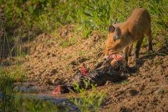 Frühstück des roten Fuchses Lizenzfreie Stockbilder
