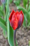 Frędzlasty czerwony tulipanu pączek Obrazy Stock