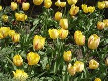 Frędzlasty tulipanów kwiatów Flamenco' (czerwień i kolor żółty) Fotografia Royalty Free