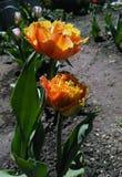 Frędzlasty tulipan nazwany Zmysłowy Dotykający Zdjęcie Royalty Free