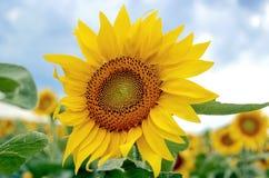 för chiantifält för backgroun härlig för san för gimignano town tuscany solrosor Arkivfoto