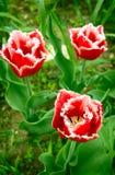 Frędzlasty tulipan Fotografia Royalty Free
